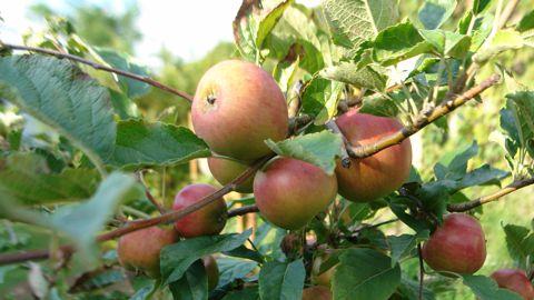 Apfel Herbstprinz