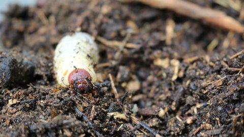 Käfer im Kompost